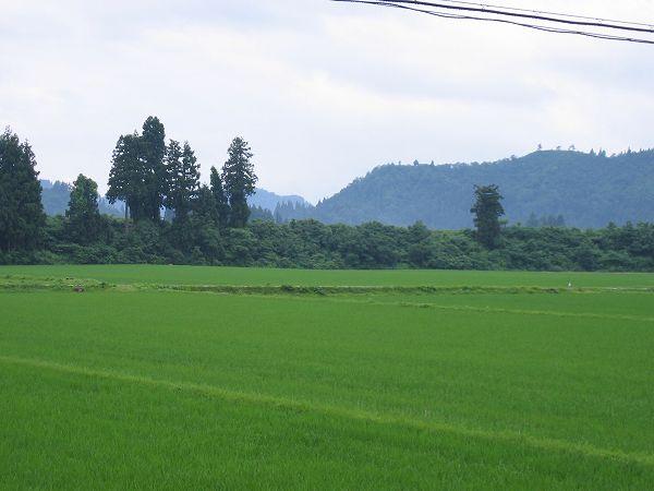 雨降りの涼しい朝です@魚沼産コシヒカリの田んぼ