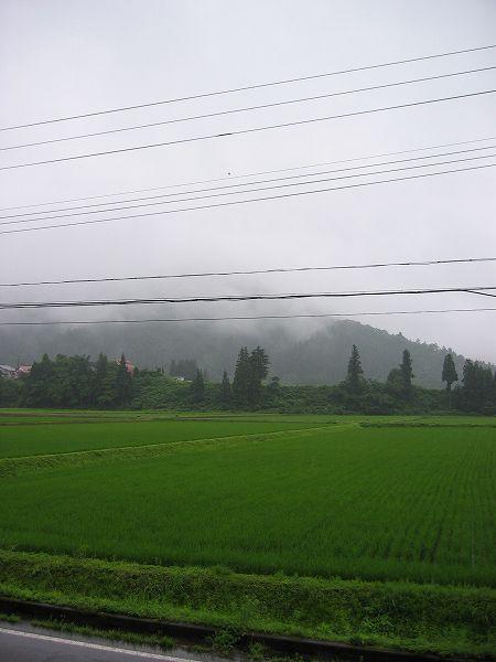 雨降りの魚沼産コシヒカリの田んぼ