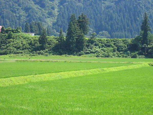 魚沼産コシヒカリの田んぼはすっかり真夏