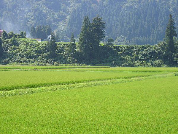 今日も暑い一日です@魚沼産コシヒカリの田んぼ
