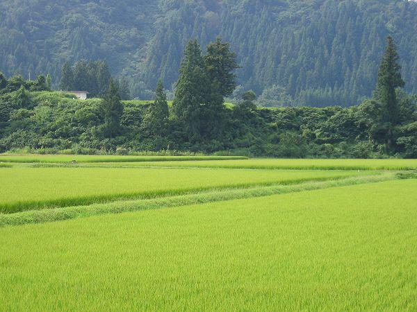 今日も朝から魚沼産コシヒカリの田んぼは暑いです
