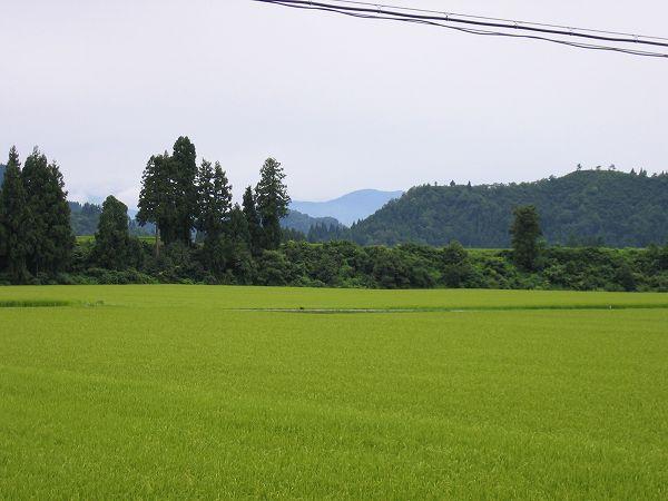 8月にしてはかなり気温が低い一日でした@魚沼産コシヒカリの田んぼ