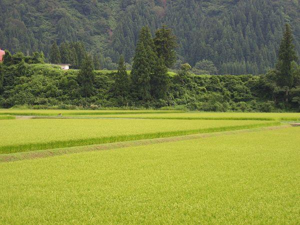 今日も涼しい一日でした@魚沼産コシヒカリの田んぼ