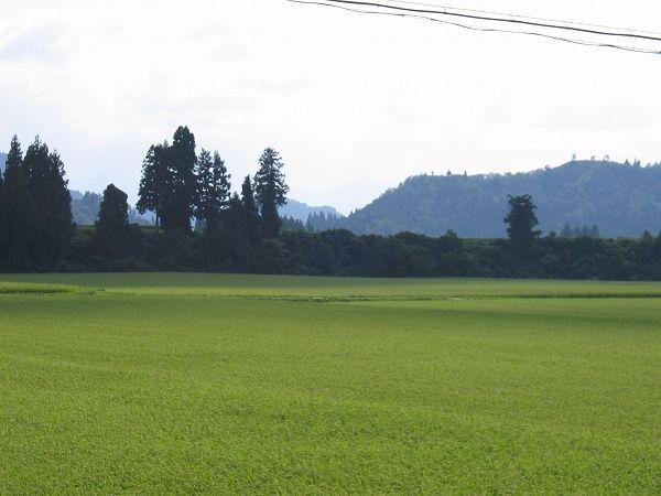 魚沼産コシヒカリの田んぼはいい天気です
