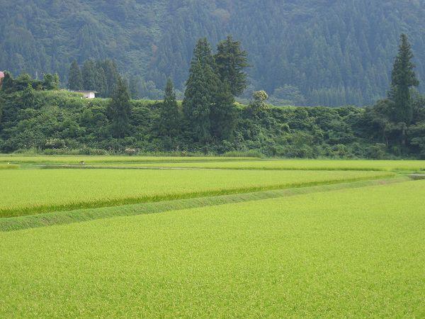 魚沼産コシヒカリの田んぼはくもりですがきびしい残暑です