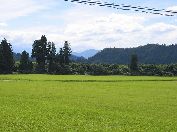 魚沼産コシヒカリの田んぼは午後になって暑くなってきました