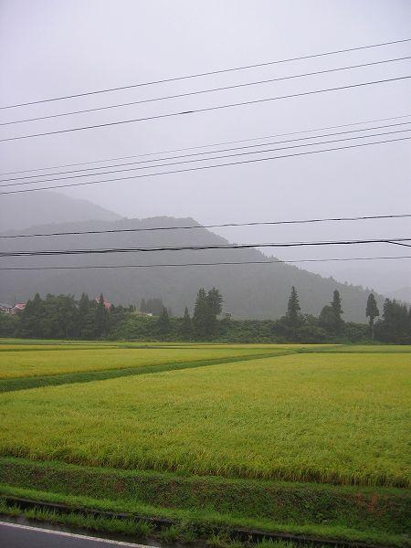 午後からの雨で気温が下がってきました@魚沼産コシヒカリの田んぼ