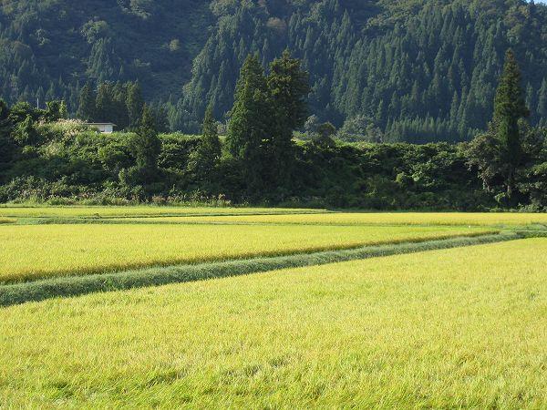 今朝の魚沼産コシヒカリの田んぼは涼しくて気分爽快です