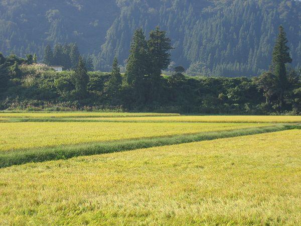 朝から日射しが強く、残暑はまだ続きそうです@魚沼産コシヒカリの田んぼ