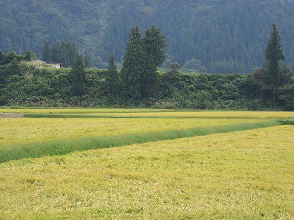 魚沼産コシヒカリの稲刈りが始まりました