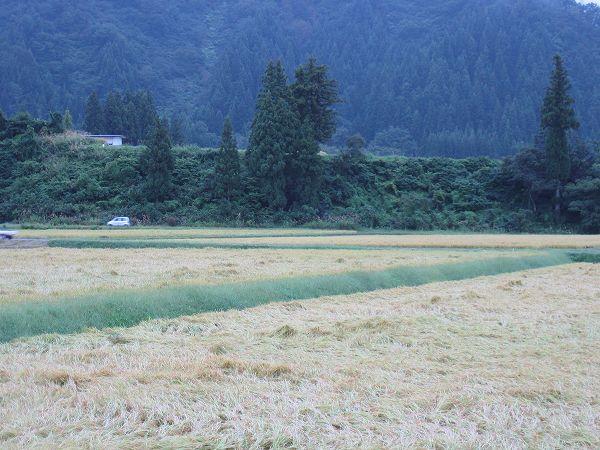 今日は雨なので魚沼産コシヒカリの稲刈りはできません