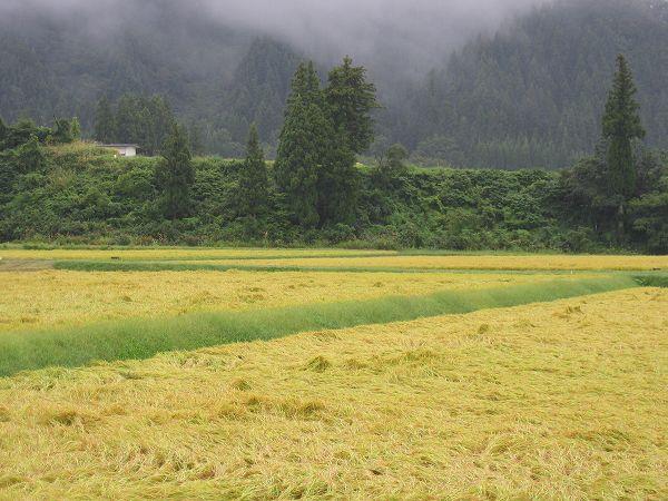 雨のために魚沼産コシヒカリの稲刈りは進んでいません