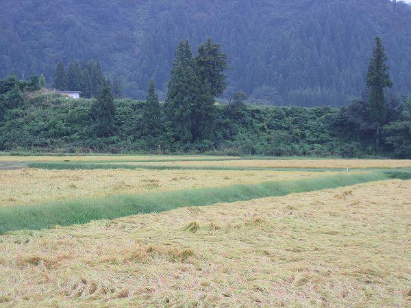 魚沼産コシヒカリの田んぼは今日も一日気温が低かったです