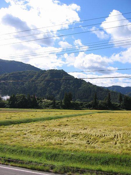 魚沼産コシヒカリの田んぼは久しぶりのいい天気で稲刈り日和です