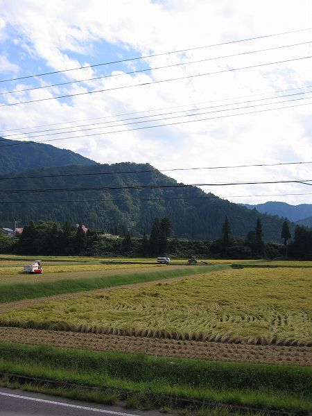 魚沼産コシヒカリの稲刈り作業がピークを迎えています
