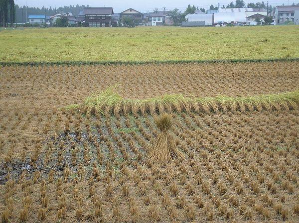 雨降りのために魚沼産コシヒカリの稲刈り作業が中断しています
