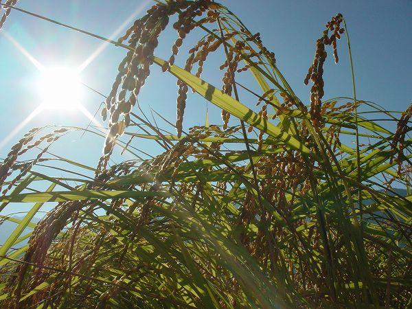 今朝の魚沼産コシヒカリの田んぼは日射しが強いです