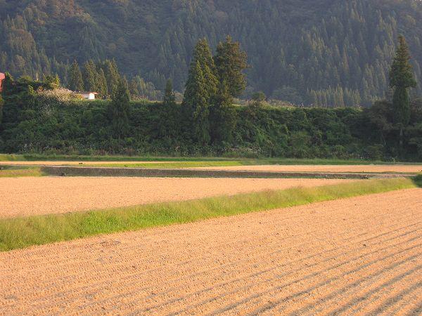 今日でだいたい魚沼産コシヒカリの稲刈り作業は終わりました