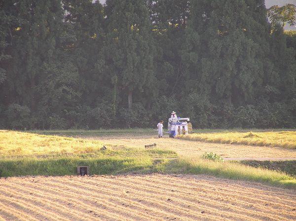 魚沼産コシヒカリの田んぼでは今日も一日稲刈り作業が行われていました