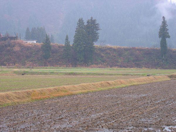 魚沼産コシヒカリの田んぼには冷たい雨が降っています