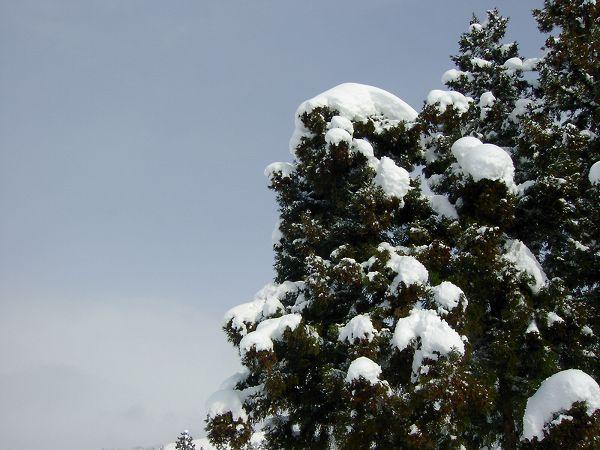 杉の木に積もった雪 by SANYO DSC-MZ1