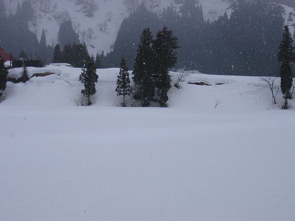 魚沼産コシヒカリの田んぼでは今日も雪が降っています