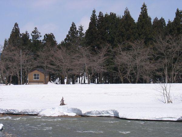 水無川の土手の桜は雪が残る中で咲くことになるかもしれません