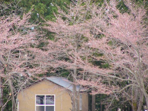 水無川の土手で桜が咲き始めました@新潟県南魚沼市