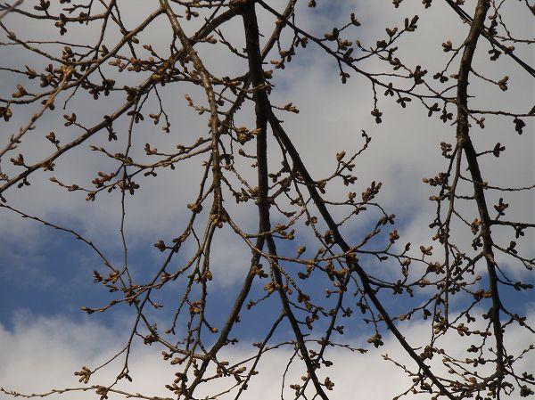 桜のつぼみが膨らんできました