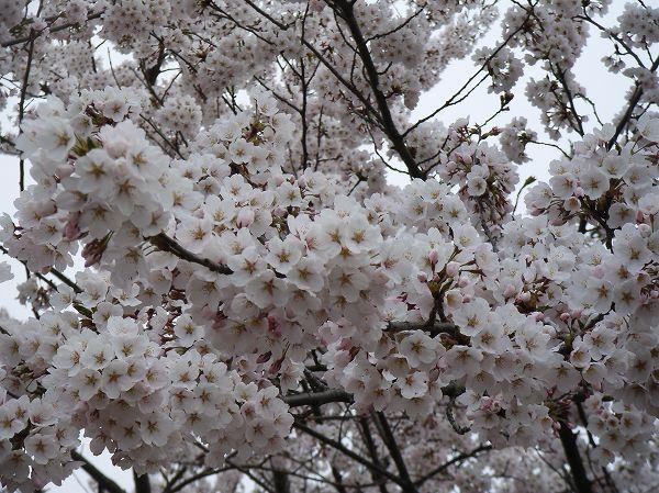 水無川の土手の桜が満開になりました