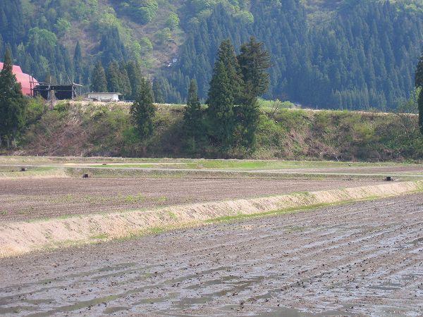 魚沼産コシヒカリの田んぼは初夏の陽気になっています