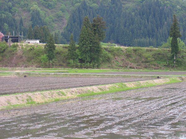 今日もまた魚沼産コシヒカリの田んぼは肌寒いです