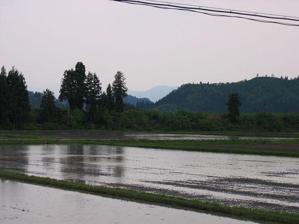 魚沼産コシヒカリの田んぼでは夕方になって雨が降り始めました