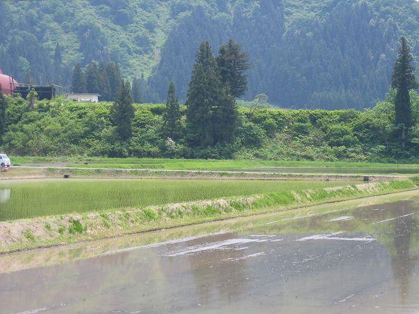 魚沼産コシヒカリの田んぼはくもりですが気温が高いです