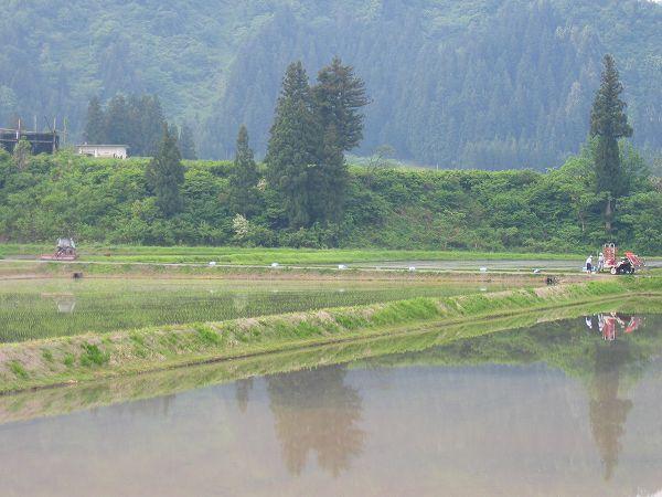 魚沼産コシヒカリの田んぼはくもりの涼しい朝です