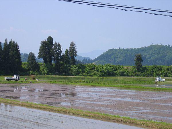 昨日に続いて魚沼産コシヒカリの田んぼは今日もいい天気です