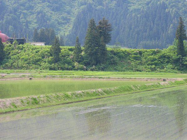 魚沼産コシヒカリの田んぼは静かな朝です