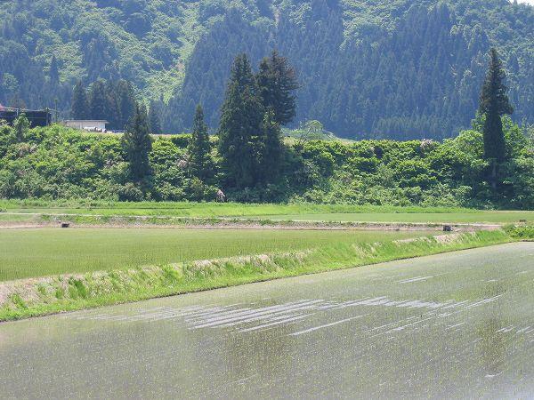 初夏のおだやかな一日@魚沼産コシヒカリの田んぼ