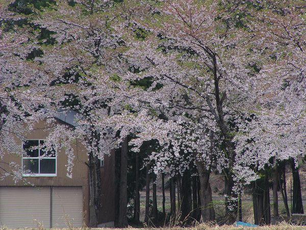 雨で水無川の土手の桜もほとんど散ってしまいそうです