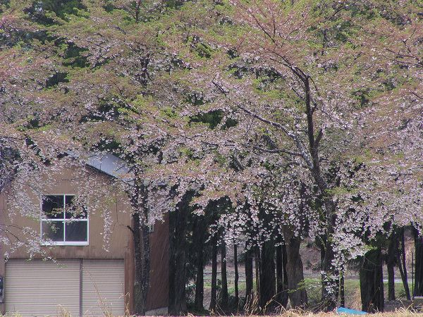 二日続きの雨で、水無川の土手の桜がほとんど散ってしまいました