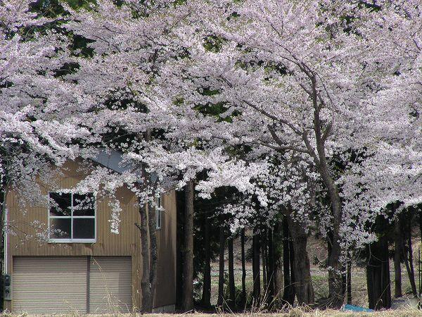 水無川の桜が散り始めて葉桜になってきました