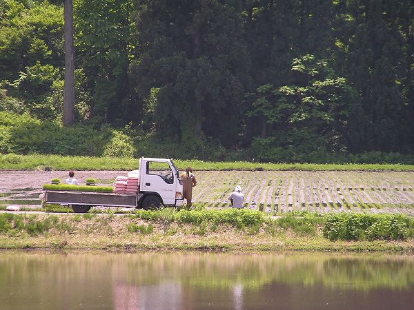 田んぼで魚沼産コシヒカリの田植え作業が行われています