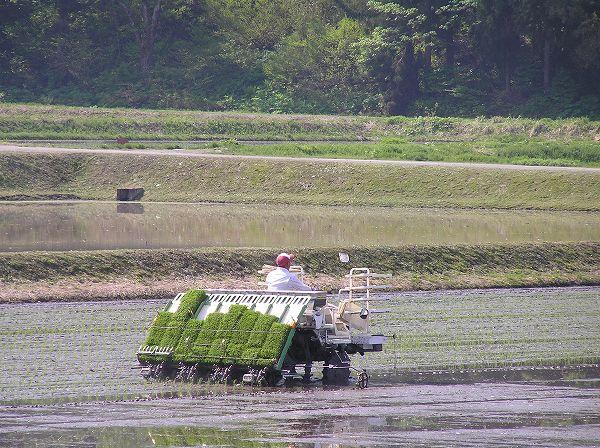 魚沼産コシヒカリの田植え作業が始まりました