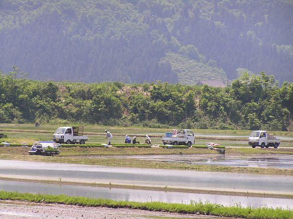 魚沼産コシヒカリの田んぼでは、正午を過ぎてもまだ田植え作業を続けている人たちがいます