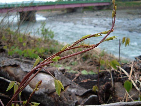 魚沼の木の芽