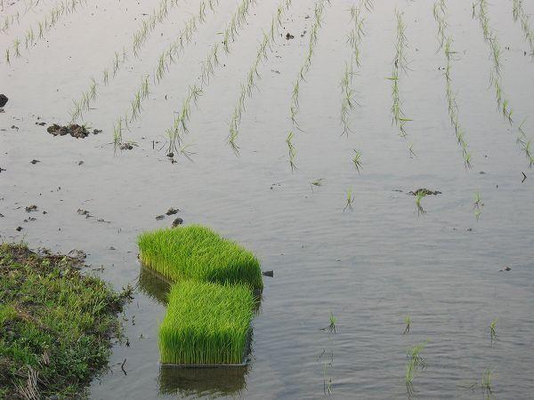田植え作業の人たちが帰った静かな魚沼の田んぼ