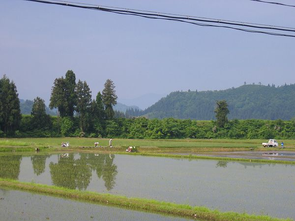 雨上がりの朝 ~ 魚沼産コシヒカリの田んぼ