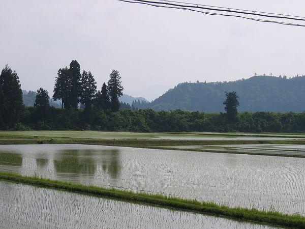 今日の魚沼産コシヒカリの田んぼは初夏の陽気です