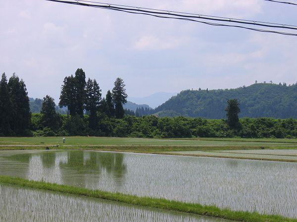 魚沼産コシヒカリの田んぼは気温が上がって初夏の陽気です