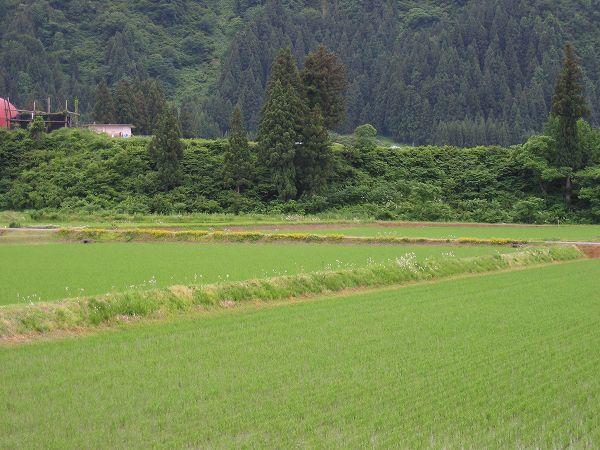魚沼産コシヒカリの田んぼはくもりでやや湿った一日でした
